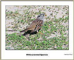 White-Crowned-Sparrow1.jpg