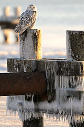 Snowy_Owl_3.jpg