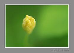 Golden_Bud.jpg