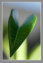Portrait_of_a_leaf.jpg