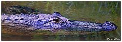 Gator12.jpg