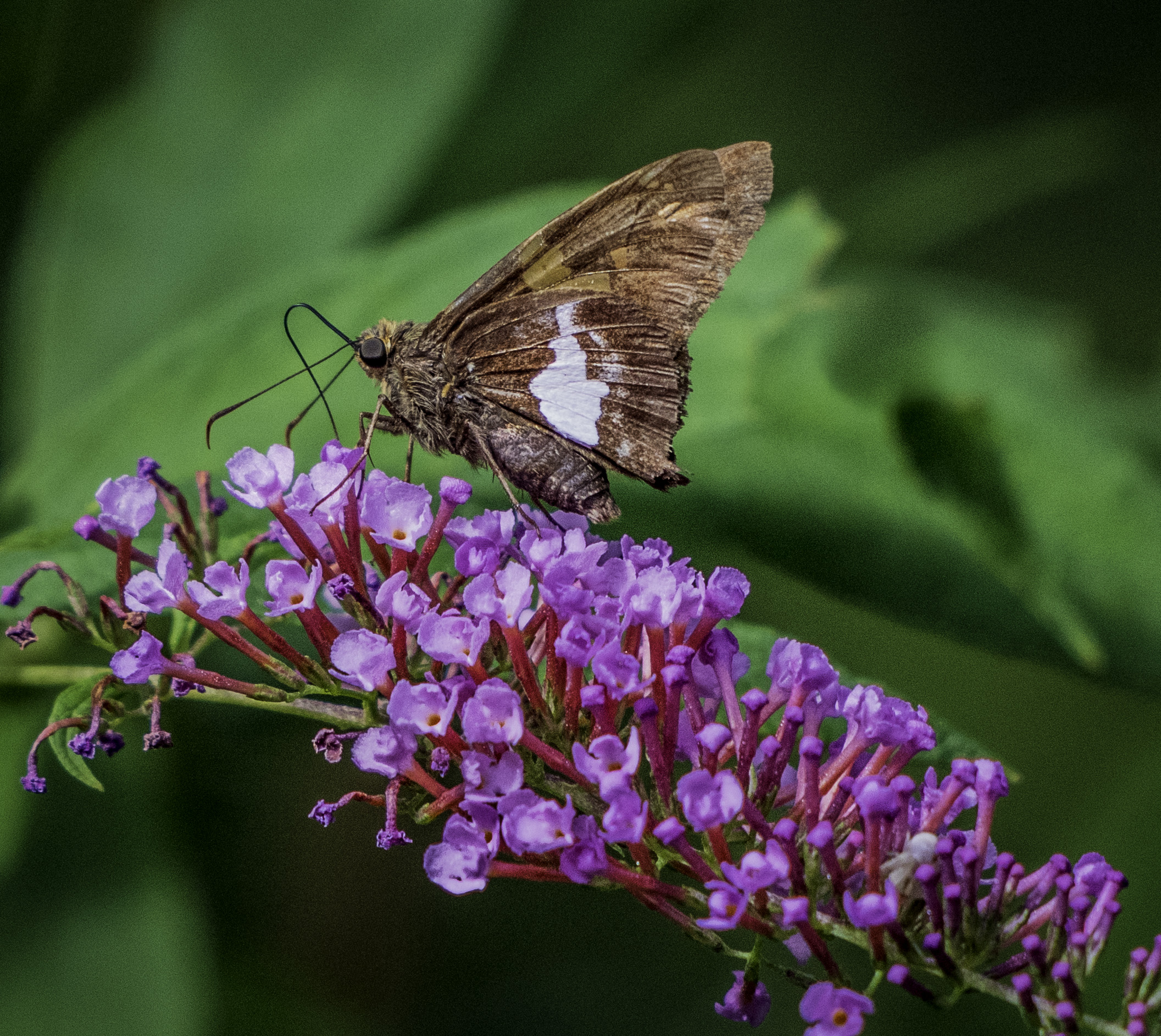 Butterfly_at_work