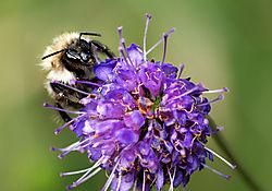 Bee_on_Scabia.jpg