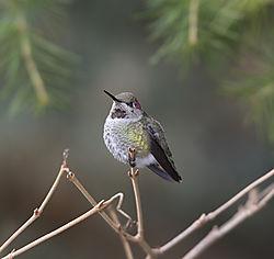 Hummingbird-4-small.jpg
