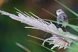Mimus_polyglottos-GALLERY-BIRD.jpg