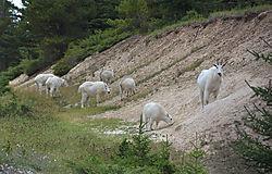 Mountain_Goats-1-small.jpg