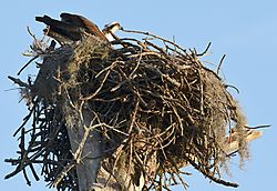 NEW_OSPREY_FULL_NEST.jpg