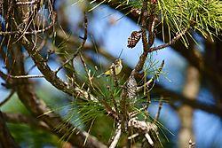 Setophaga_palmarum-50_.jpg
