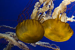 jelly_fish_1_of_1_.jpg