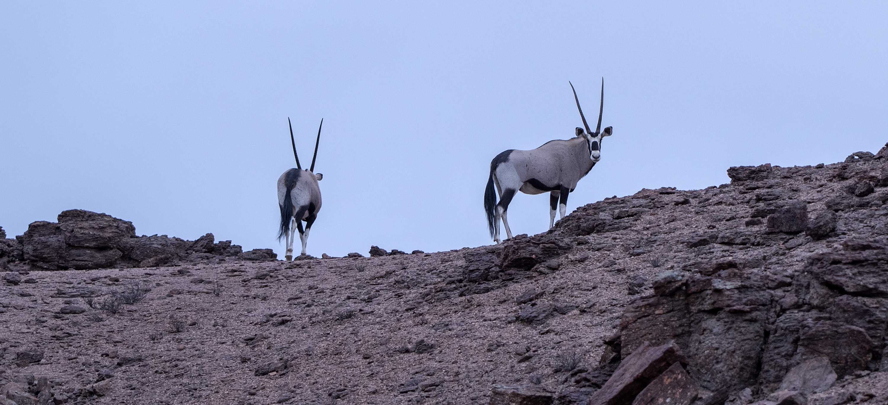75O0635_cliff_oryx_morning_light_cropped