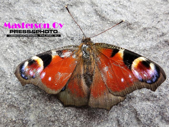 Aglais-urticae_Butterfly2_0610