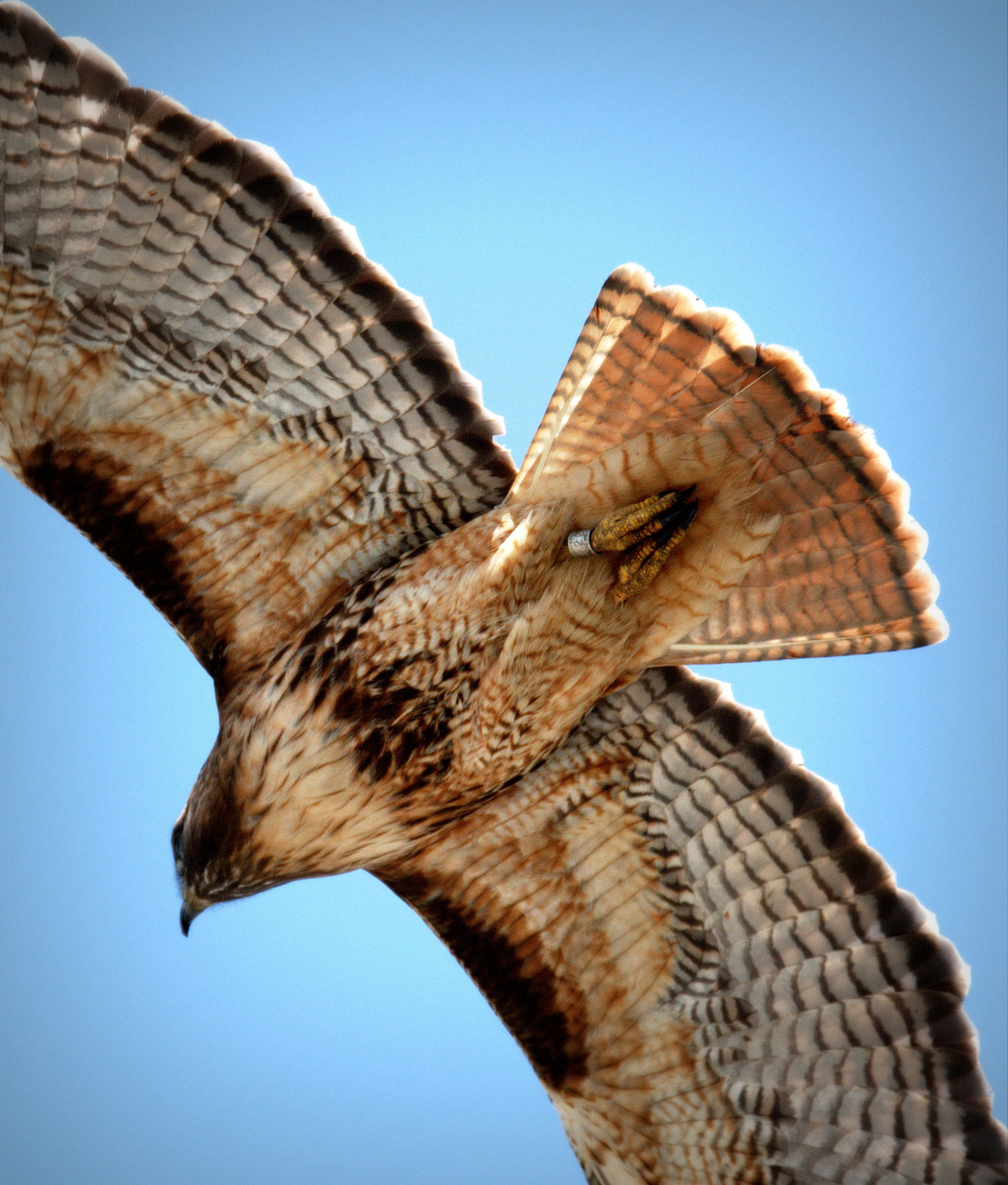 Banded_Red-tailed_Hawk