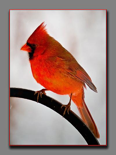 Cardinal41