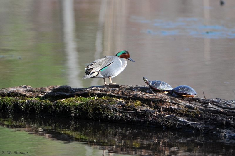DSC_7410_Green_Winged_Teal_Painted_Turtle_Nikonians