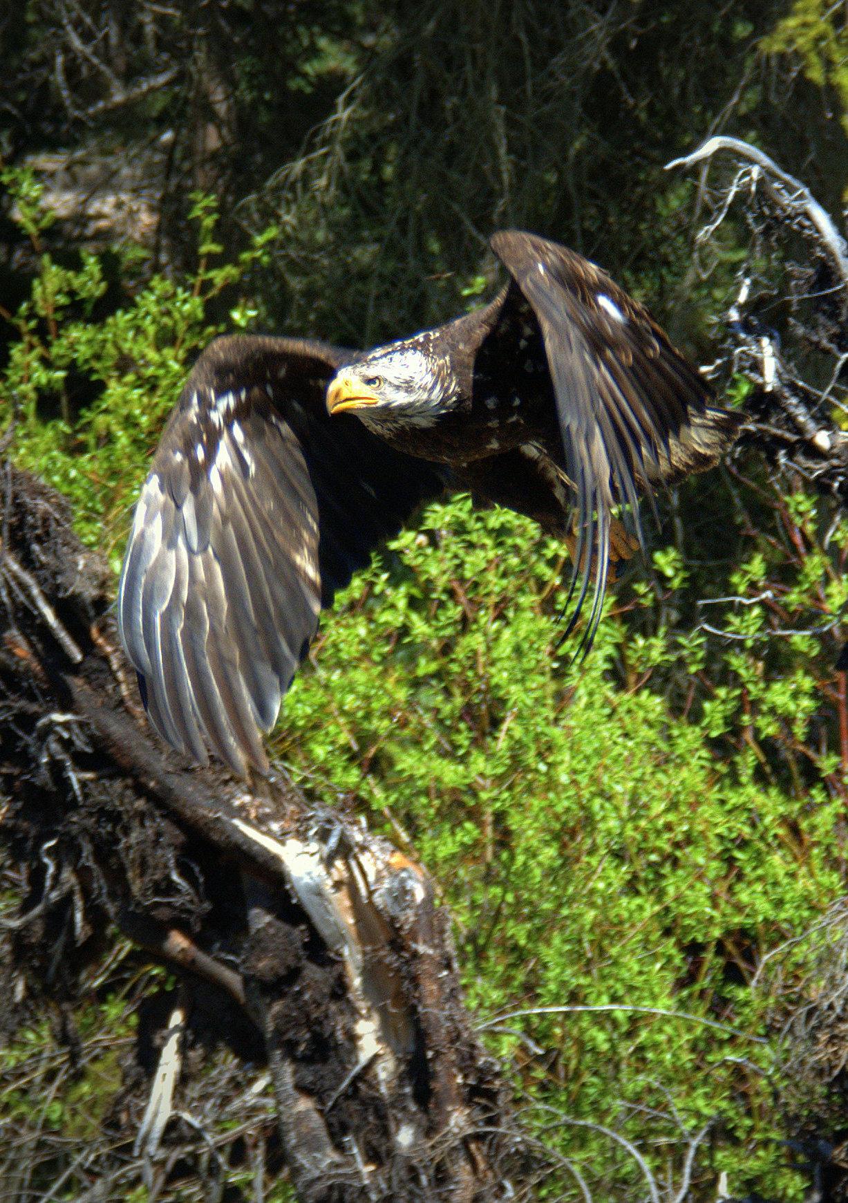 Eagle_Cropped