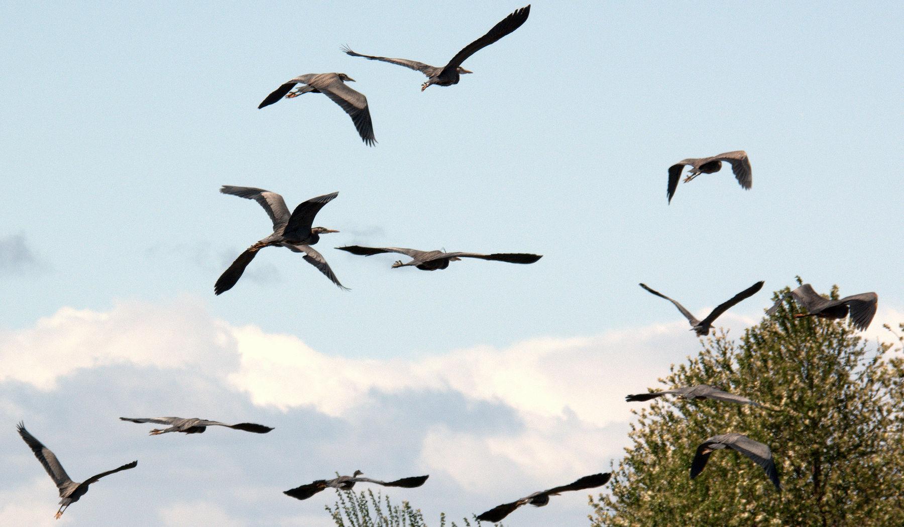 Flock_of_GB_Heron