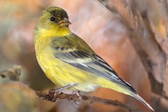 Goldfinch_perched_in_smoke_tree_Flat_Hi-res