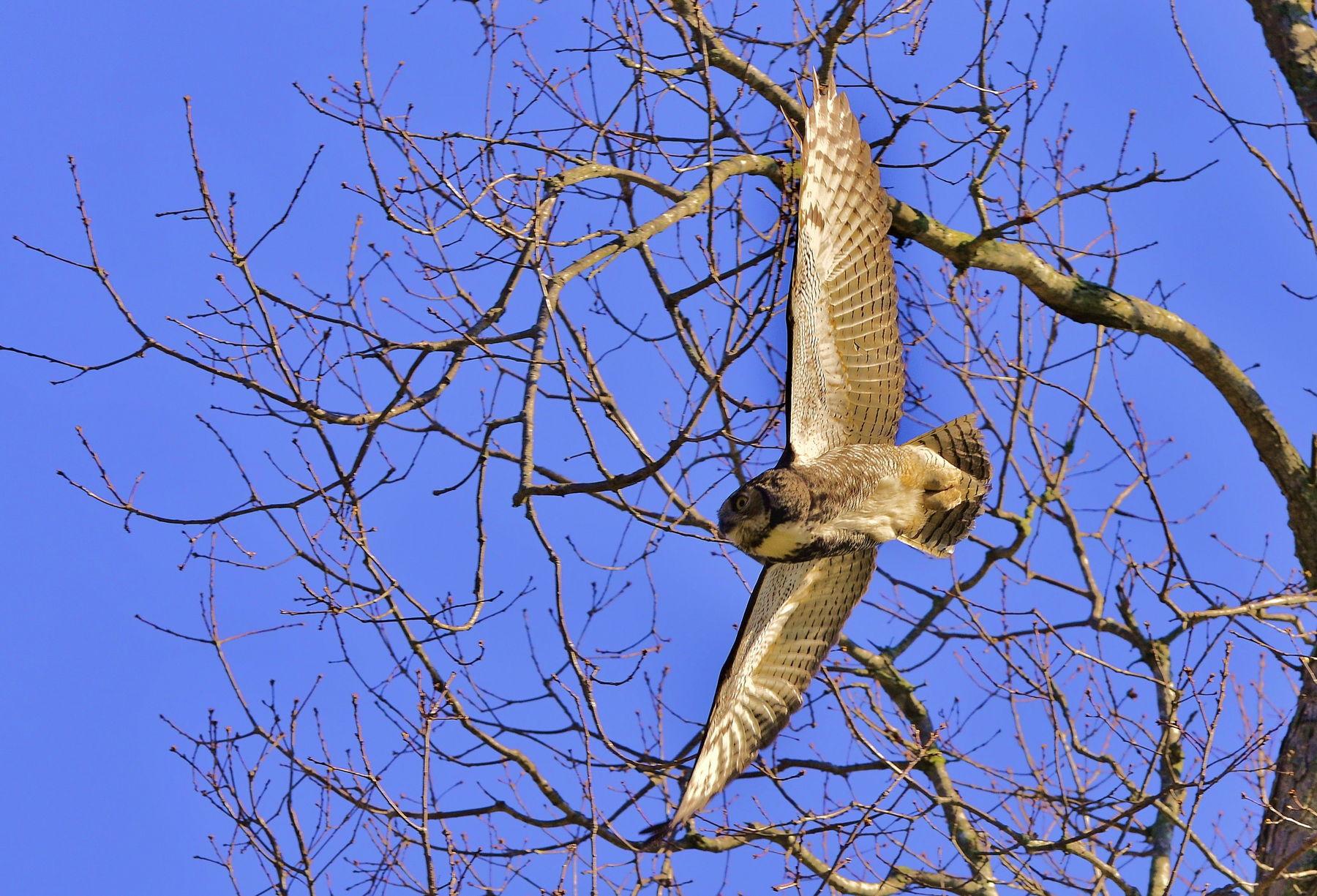 Great_Horned_Owl-9j1