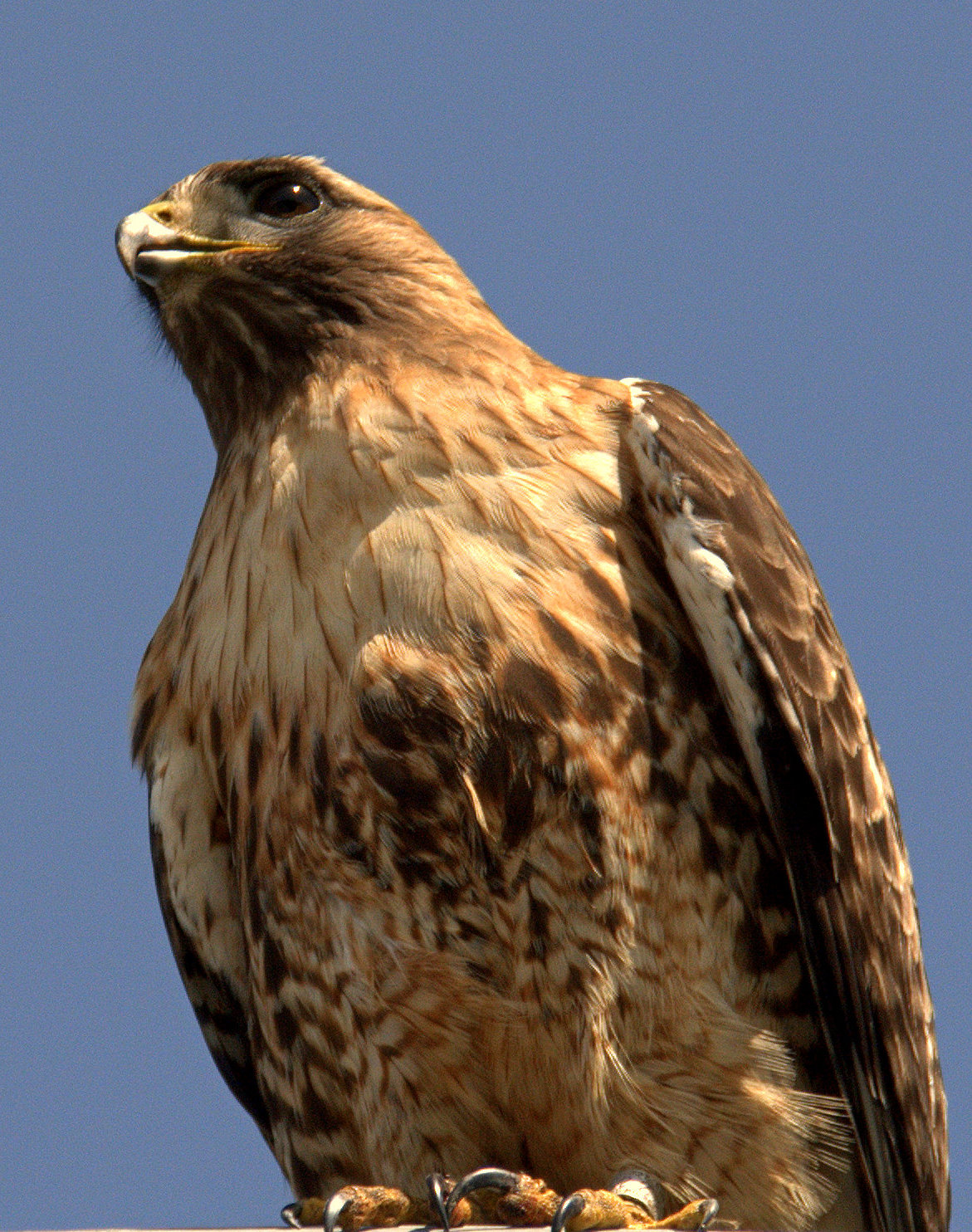 Red-T_Hawk_Portrait_II