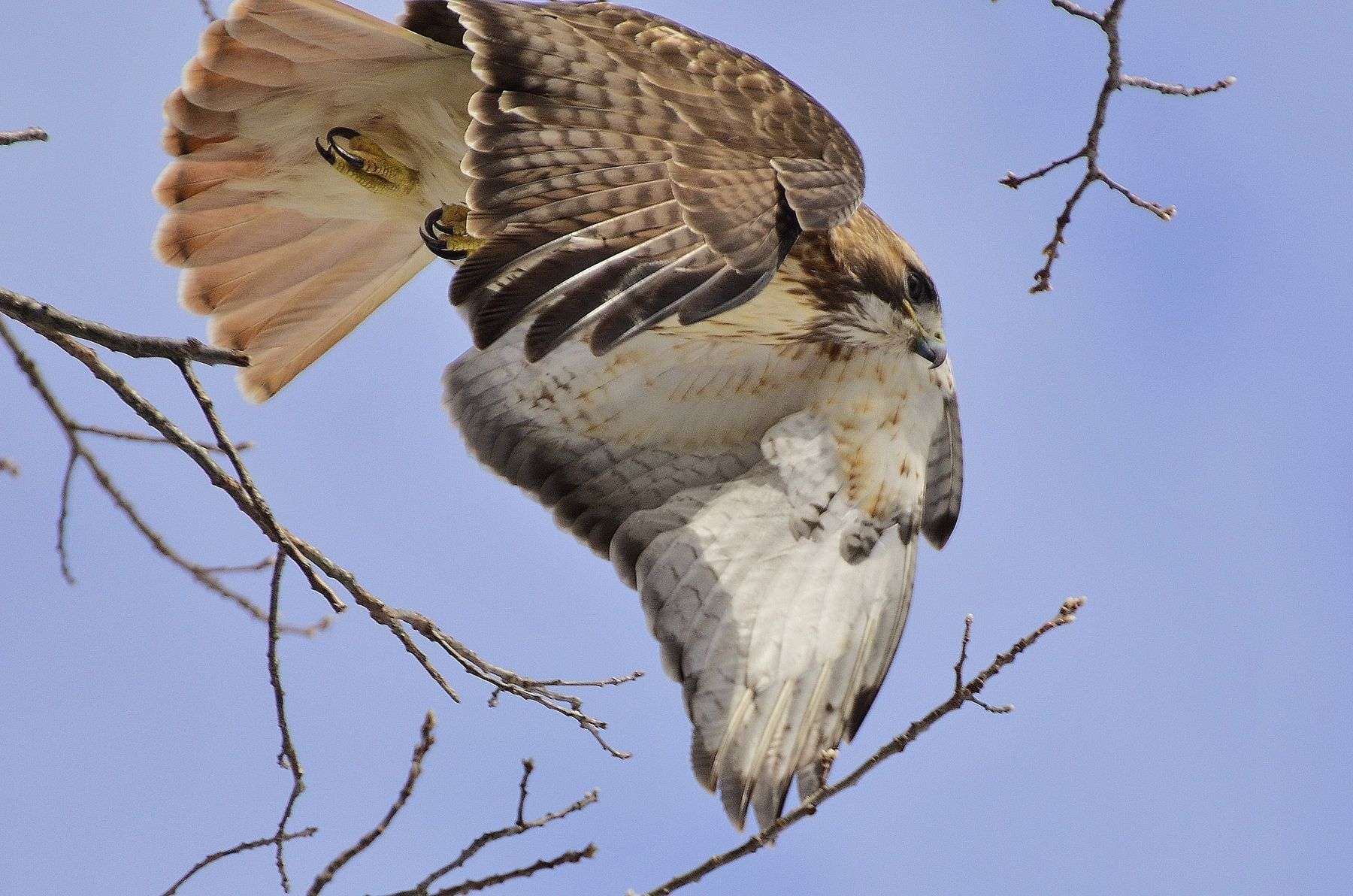 Red_Tailed_Hawk-6