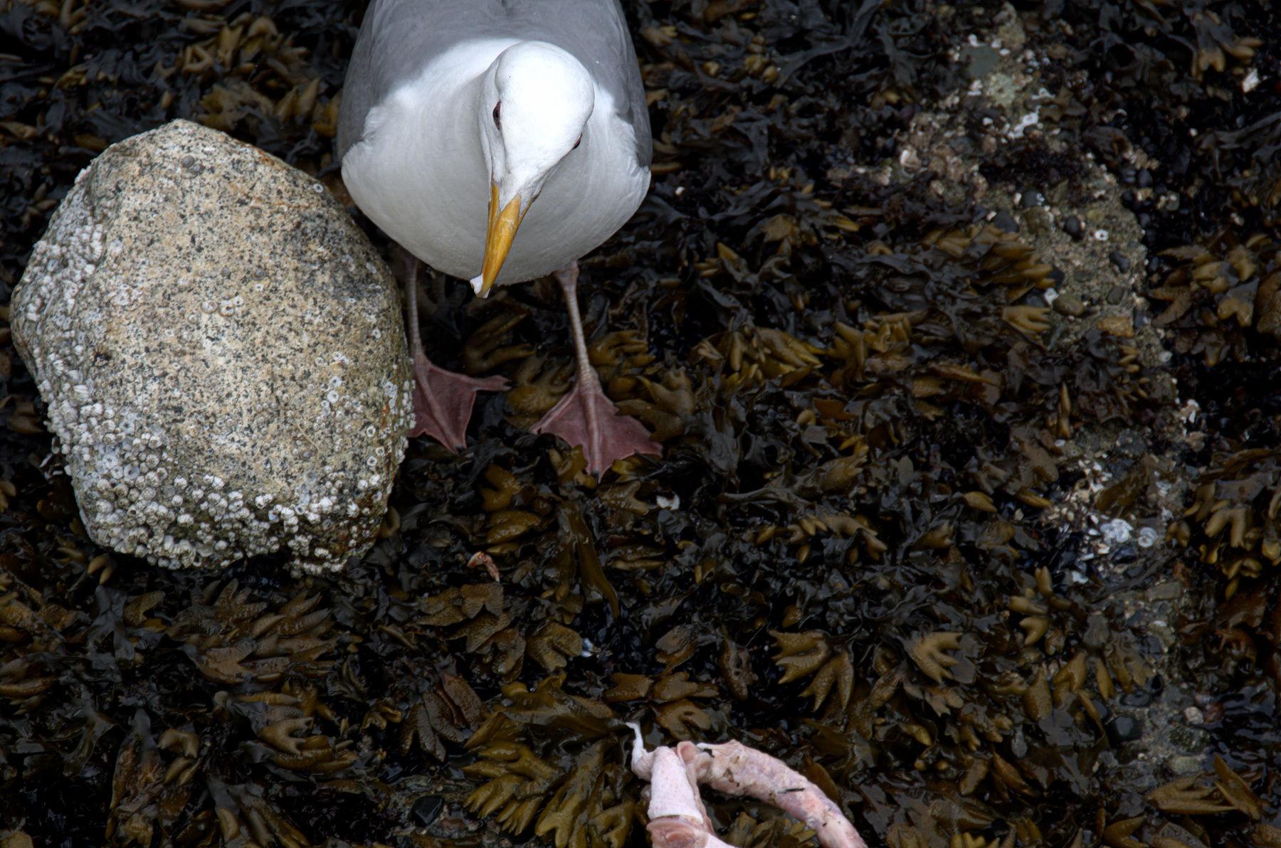 Rock_Gull