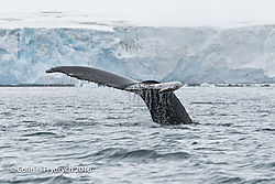 075_2016-01-20_Antarctica_Humpback_Whales_Yankee_Harbour_D750_CFP1946flickr.jpg
