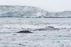 132_2016-01-20_Antarctica_Humpback_Whales_Yankee_Harbour_D750_CFP1992flickr.jpg