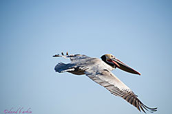 2011_01_22_pelican-6750-1_web.jpg