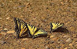 20140630_Yellowtail.jpg