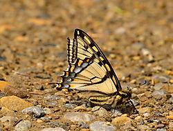 20140630_Yellowtail2.jpg