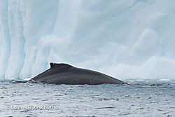 238_2016-01-20_Antarctica_Humpback_Whales_Yankee_Harbour_D750_CFP2093flickr.jpg