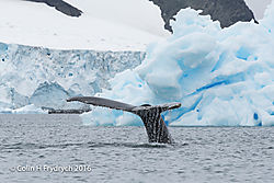 270_2016-01-20_Antarctica_Humpback_Whales_Yankee_Harbour_D750_CFP2126flickr.jpg