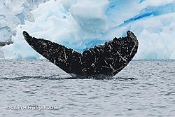 272_2016-01-20_Antarctica_Humpback_Whales_Yankee_Harbour_D750_CFP2128flickr-2.jpg