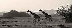 75O0575_2_Hoanib_giraffes_10x4.jpg