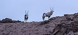 75O0635_cliff_oryx_morning_light_cropped.jpg