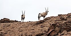75O0635_cliff_oryx_natural_color_nikcontraststructureadj.jpg