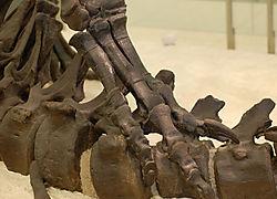 AMNH-AllosaurusA.jpg
