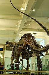 AMNH-Apatosarus.jpg