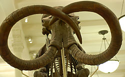 AMNH-Mammoth.jpg