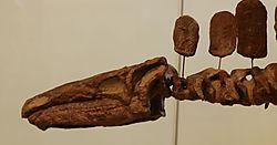 AMNH-StegosaurusA.jpg