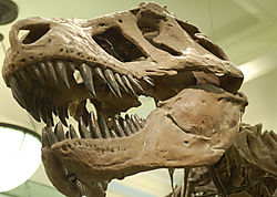 AMNH-TyranosaurusB.jpg