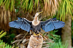 ANHINGA_SPREAD_IV_LIGHTROOM.jpg