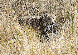 Africa_2015_D-750B_1095_leopard_walking_in_grass_5x7.jpg