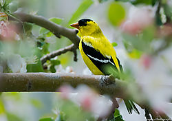 American_Goldfinch_Apple_Tree_Blossums_Thornton_Co_May_03_2014_JG1_3759.jpg