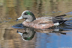 American_Wigeon_Duck_Clear_Creek_Prospect_Park_Wheat_Ridge_Co_April_08_2014_JG1_2143.jpg