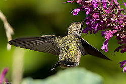 Anna_s_Hummingbird_back_and_wing_detail.jpg