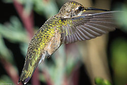 Anna_s_Hummingbird_back_side_and_wing_detail.jpg