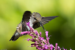 Anna_s_Hummingbird_front_quarter.jpg