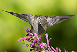 Anna_s_Hummingbird_front_wings_horizontal_head_downl.jpg