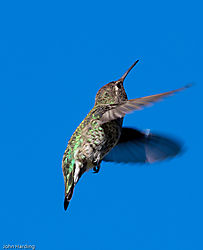 Anna_s_Hummingbird_hunting_insects.jpg